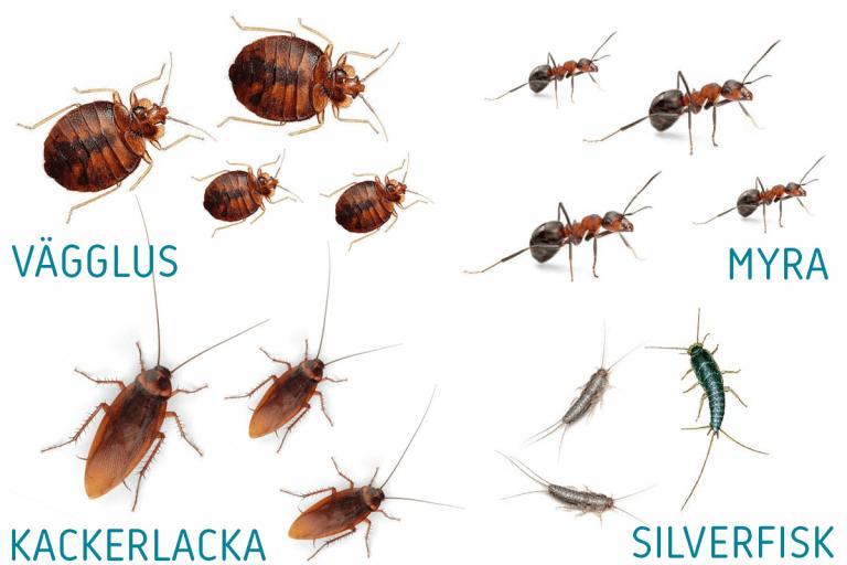 Illustrationsbild på ohyra som vägglus, kackerlacka, myra och silverfisk.