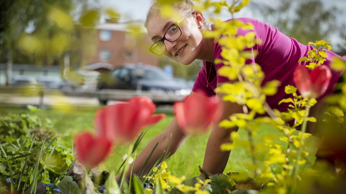 Tjej som rensar en rabatt med röda tulpaner
